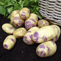 Blue Belle Seed Potatoes