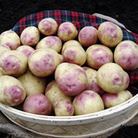 Bonnie Seed Potatoes