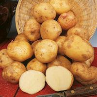 Cara Seed Potatoes