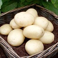 Casablanca Seed Potatoes