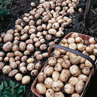 Foremost Seed Potatoes
