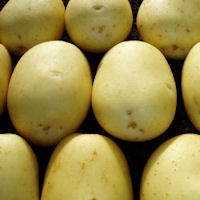 Hunter Seed Potatoes