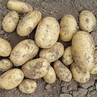 Isle Of Jura Seed Potatoes