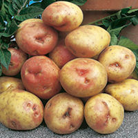 King Edward Seed Potatoes