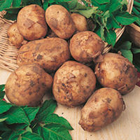 Maris Bard Seed Potatoes