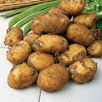 Maris Peer Seed Potatoes
