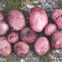 Mozart Seed Potatoes