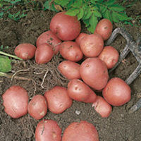 Red Duke Of York Seed Potatoes