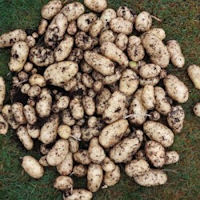 Sharpes Express Seed Potatoes