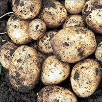 Swift Seed Potatoes