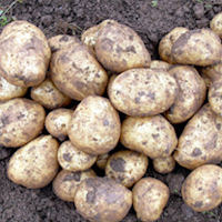 Toluca Seed Potatoes